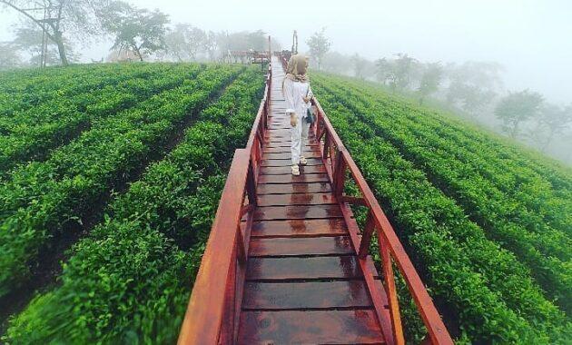 Gambar Kebun Teh Lawang Kebun Teh Wonosari Lawang Malang Harga Tiket Masuk Jalan Menuju Lokasi Wisata Jejakpiknik Com