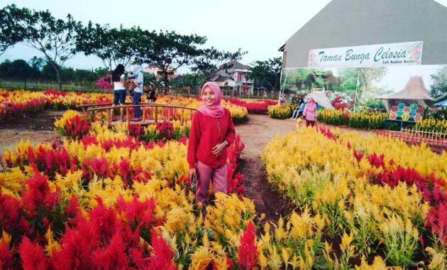 Taman bunga celosia kudus